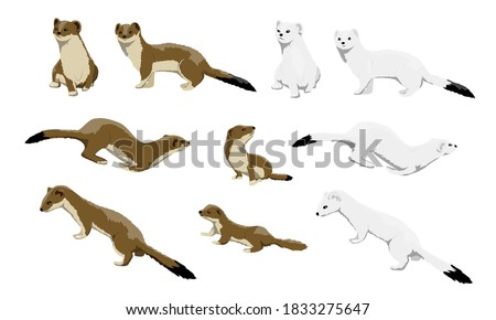 Males, females and calves of ermines are winter white and summer brown. Wild animals of the arctic. Mustela erminea. Vector illustration