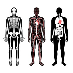 Man skeleton, internal organs, circulatory system anatomy. Anatomical structure of human body front view. Vector isolated flat illustration of skull and bones, blood vessels in body. medical  banner
