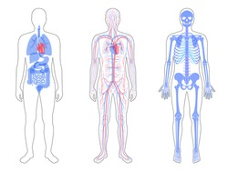 Man skeleton, internal organs, circulatory system anatomy. Anatomical structure of human body front view. Vector isolated flat illustration of skull and bones, blood vessels in body. medical banner.