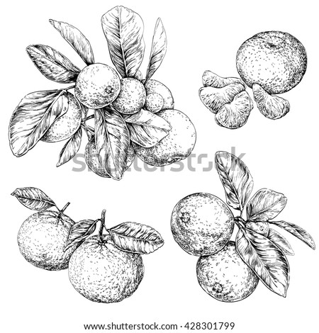 Mandarin orange (Citrus) branch with leaves. Hand drawn botanical set with fruits, branches and leaves. vector illustration.