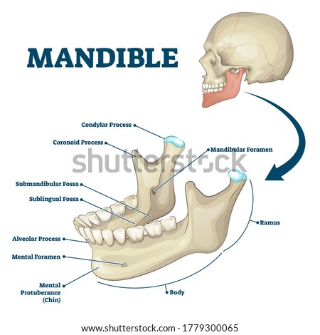 Mandible jaw bone labeled anatomical structure scheme vector illustration. Educational bone titles description and human mouth explanation. Ramus, chin, foramen, alveolar and sublingual fossa location