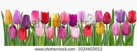 Many beautiful colorful Tulips with leaves isolated on a transparent background. Photo-realistic mesh vector illustration for any festive design, horizontal pattern with live spring flowers.