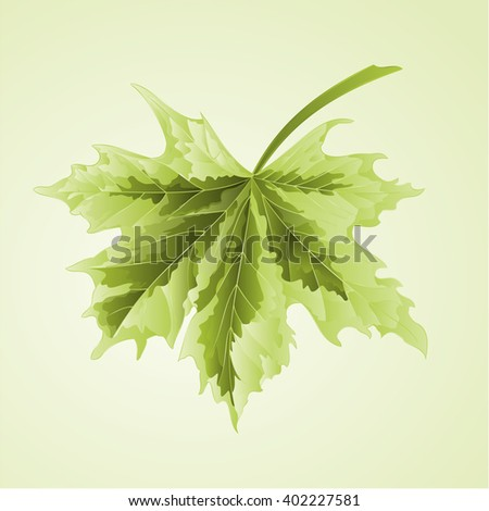 maple leaf acer platanoides