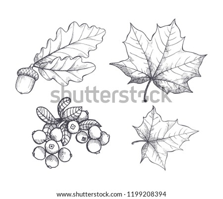 Maple leaf and autumnal acorn hanging on foliage branch monochrome sketches outline set vector. Cranberry berry harvested in autumn period defoliation