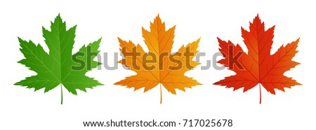 maple leaf in red  yellow  and