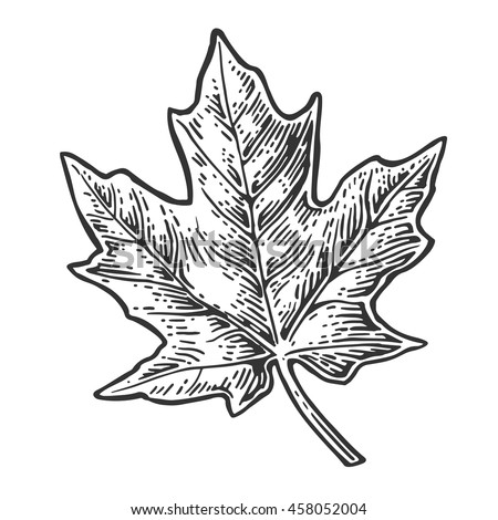 maple leaf. vector vintage...