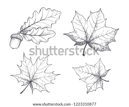 Maple leaves monochrome sketches outline isolated icons set vector. Drawing and autumn decoration, acorn hanging on branch. Defoliation in fall season