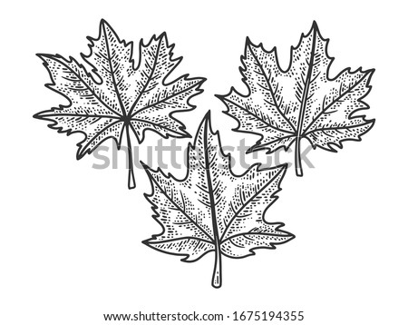 maple leaves set sketch