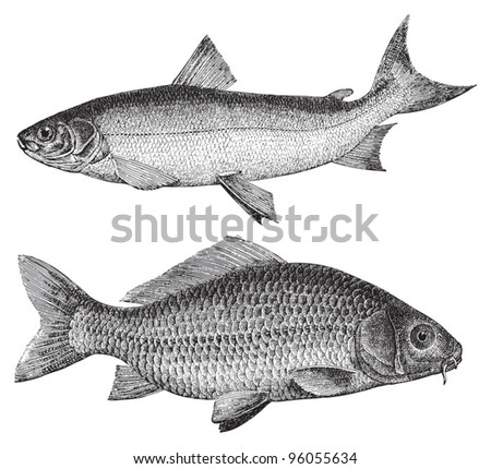 Maraene (Coregonus maraena) above and Common carp (Cyprinus carpio) under / vintage illustration from Meyers Konversations-Lexikon 1897