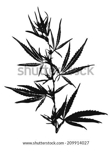 marijuana leaves  cannabis  bush