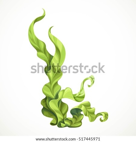 Marine green algae object isolated on white background
