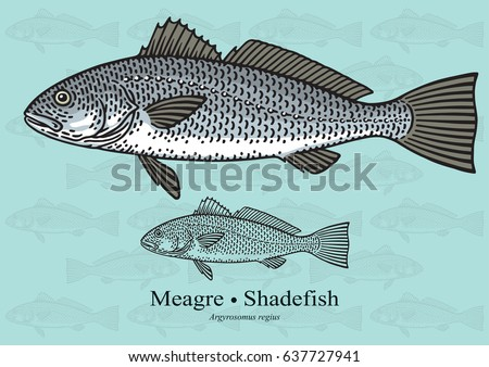 Meagre, Shadefish, Salmon Bass, Drum Fish. Vector illustration with refined details and optimized stroke that allows the image to be used in small sizes. Stok fotoğraf ©