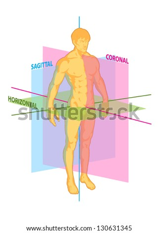 median, coronal, horizontal, sagittal planes of human body, torso of man athlete front and rear view, anterior and posterior, muscular system, strength, fitness, power