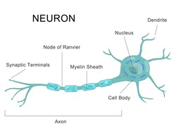 Medical chart human neuron structure. Anatomy of nerve cell diagram.