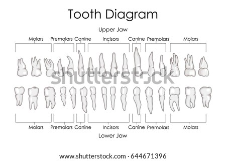 Structure of tooth vectors download free vector art stock medical education chart of biology for human teeth diagram vector illustration ccuart Image collections