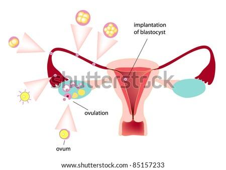 medical illustration of ovulation