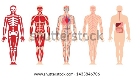 Medical schemes of different systems of the human body: skeleton, muscular system, cardiovascular system, nervous system, gastrointestinal tract.