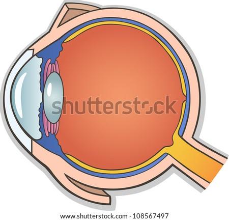 Medical Vector Illustration of Human Eye Ball Cross Section