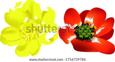 medicinal plant adonis two