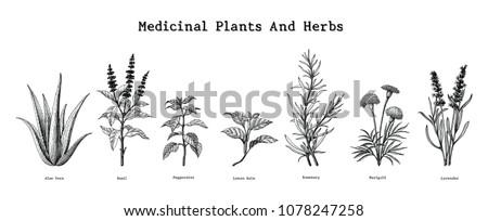 Medicinal plants and herbs hand drawing vintage engraving illustration Stock photo ©