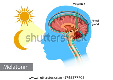 Melatonin hormone. Pineal gland anatomical cross section. Medical information poster. Stock photo ©