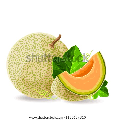 Melon whole and a piece with leaves on white. Vector illustration. No gradients
