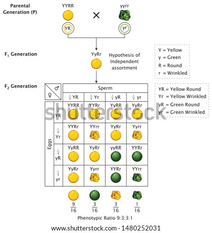 Mendel Genetic Concept Crossing Pea Plant Pod Seed Experiment Di Hybrid Cross With Include All Labels Mendel's Laws Mendel's Experiments Education Vector Illustration Diagram