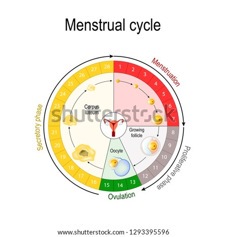 Menstrual cycle chart. increase and decrease of the hormones. The graph also depicts the growth of the follicle. Fluctuation of hormones that occurs during menstruation cycle. Vector illustration