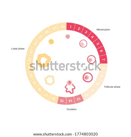Menstrual cycle diagram. Woman health concept. Menstruation phases. Ovum development. Pergnancy and ovulation medical poster for clinic. Flat vector illustration. Female reproductive system. Stock photo ©