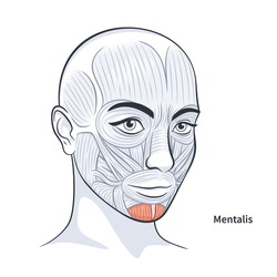 Mentalis. Facial muscles of the female. Detailed bright anatomy isolated on a white background vector illustration