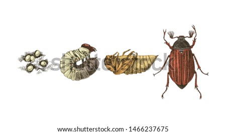 Metamorphosis of Maybug. 4 stages of cockchafers - Melolontha melolontha - life cycle. Hand drawn vector illustration