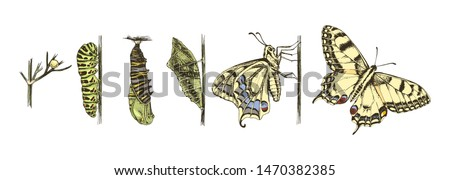 Metamorphosis of the Swallowtail - Papilio machaon - butterfly. 6 studies of changes. Hand drawn colorful vector illustration