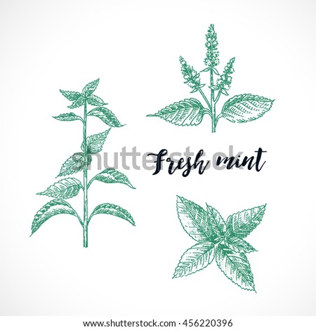 Mint hand drawn vector  set. Herbal engraved style for design. Detailed  botanical sketch. Cooking aroma spicy ingredient. Organic product
