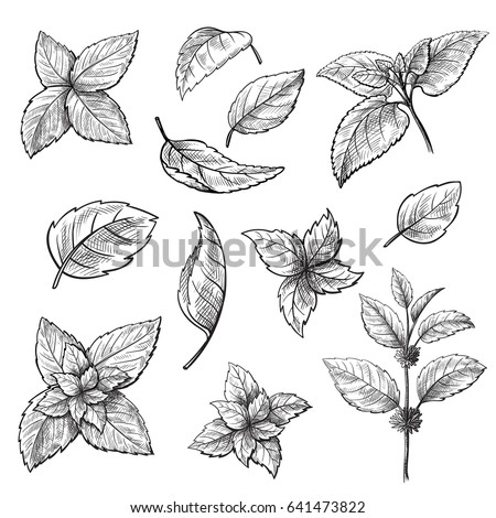 Shutterstock Mint hand sketch vector illustration. Peppermint engraved drawing of menthol leaves isolated on white background. Leaf herbal spearmint plant