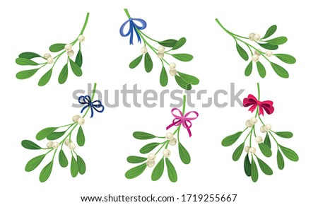 mistletoe or viscum branches