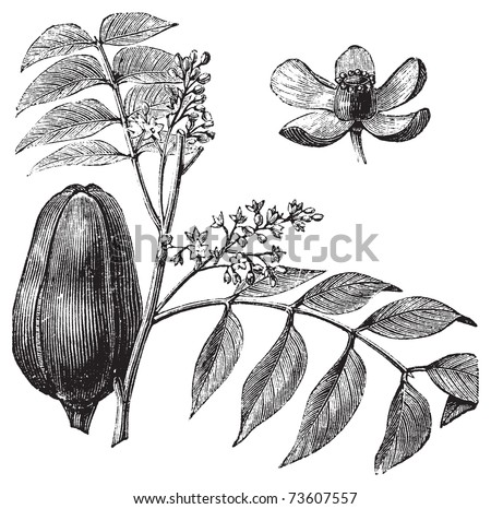 Mohagany or Meliaceae. Melia azedarach illustration. Also called Persian Lilac, White Cedar, Chinaberry, Texas Umbrella, Bead Tree, Lunumidella, Ceylon Cedar, malai vembu, Bakain and Dharek/Dhraik.