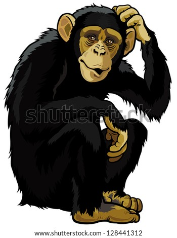 monkey chimpanzee,simia troglodytes,sitting pose,picture isolated on white background