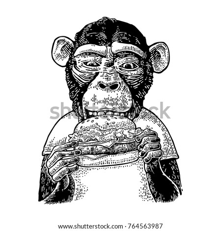Monkey wearing a t-shirt eating a hamburger burger. Vintage black engraving illustration for poster. Isolated on white background