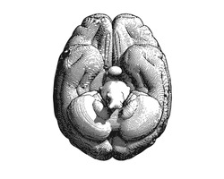 Monochrome engraving brain inferior view illustration isolated on white background