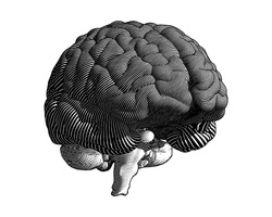 Monochrome engraving flow line drawing brain illustration in perspective view isolated on white background