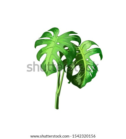 Monstera Deliciosa, monstera leaves, tropical plant on an isolated white background, can be used for flyers, postcards, own design