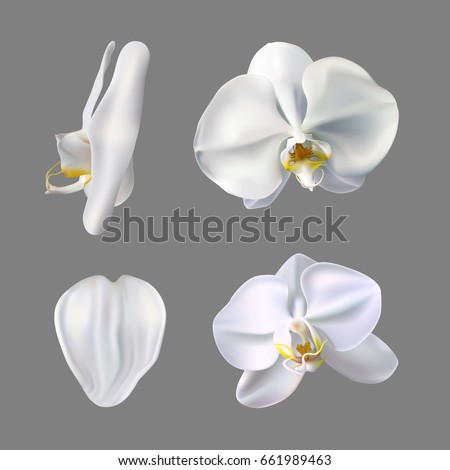 Moon orchid flower vector on gray background. White orchid illustration.