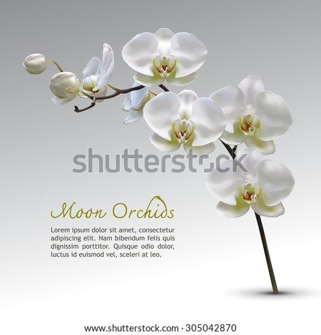 moon orchid flower vector on
