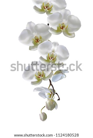 moon orchids flowers hang down