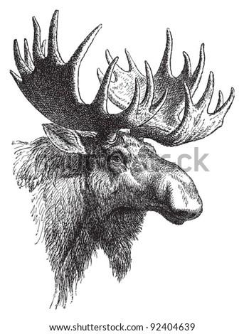 Moose or Eurasian elk (Alces alces) / vintage illustration from Meyers Konversations-Lexikon 1897