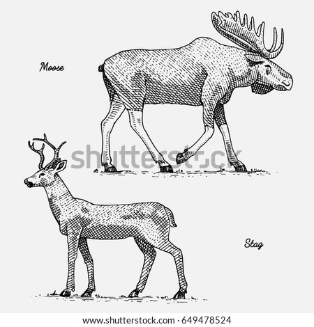 moose or eurasian elk and stag