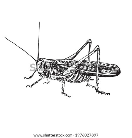 Moroccan locust (Dociostaurus maroccanus) sitting side view,  gravure style ink drawing illustration isolated on white Photo stock ©