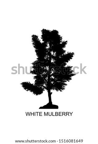 morus alba  known as white