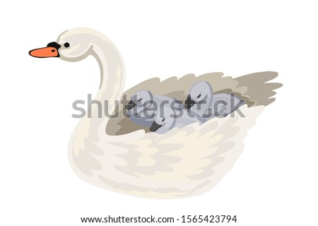 mother swan and brood of