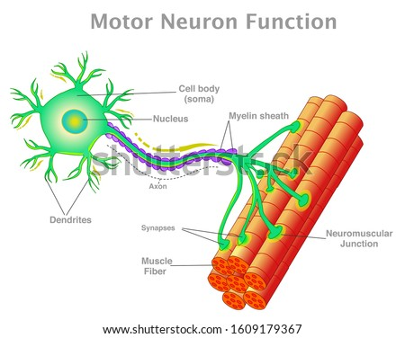 Motor neuron function. Transmission of the nerve signal from the neuron to the muscle by neuromuscular junction. Connect the muscle fiber. Simple explanation. White background. Vector illustration
